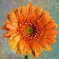Orange Color Stroke Gerber Daisy by Tamera Pike