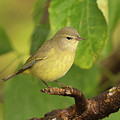 Orange Crowned Warbler by Dennis Hammer