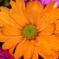 Orange Crush Daisy by Diann Fisher