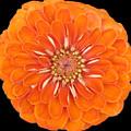 Orange Crush Zinia by Kat Dee