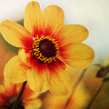 Orange Dahlia  by Angela Doelling AD DESIGN Photo and PhotoArt