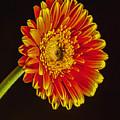 Orange Dahlia by Darleen Stry