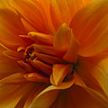 Orange Dahlia by Ignacio Leal Orozco