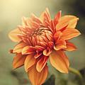 Orange Dahlia by Juliana RW