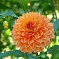 Orange Dahlia Master Gardeners Art Collection Baslee Troutman by Baslee Troutman