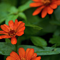 Orange Daisey's by Paul Mangold