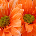 Orange Daisies Paired by Lucyna A M Green