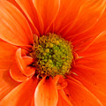 Orange Daisy - A Center View by Lucyna A M Green