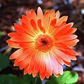 Orange Daisy by Cynthia Guinn