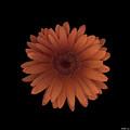 Orange Daisy Front by Heather Kirk