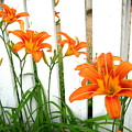 Orange Daylily At Colonial Williamsburg by Camryn Zee Photography