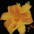Orange Daylily Flower Blossom In A Garden by DejaVu Designs