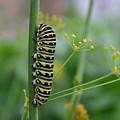 Orange Dot Caterpillar by Butter Milk