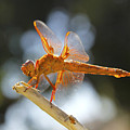 Orange Dragonfly by Diana Haronis