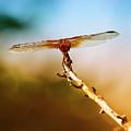Orange Dragonfly Wings I by Linda Brody