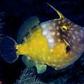 Orange Filefish by Jean Noren