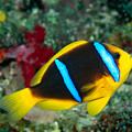 Orange-fin Anemonefish by Dave Fleetham - Printscapes