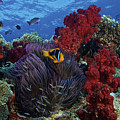 Orange-finned Clownfish And Soft Corals by Terry Moore