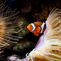 Orange Fish In Sea Anemones by Arletta Cwalina