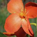 Orange Flower 1 by Nancy Aurand-Humpf