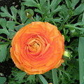 Orange Flower  by Alice Markham
