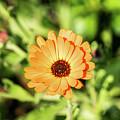 Orange Flower by Kevin Gladwell
