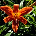 Orange Flower Of Summer by Reva Steenbergen