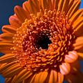 Orange Flower by Svetlana Sewell