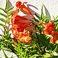 Orange Trumpet Flowers At Pilgrim Place In Claremont-california  by Ruth Hager