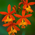 Orange Flowers by Mandy Wiltse