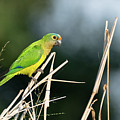 Orange-fronted Parakeet by Mike Timmons