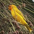 Orange Fronted Yellow Finch Panaca Quimbaya Colombia by Adam Rainoff