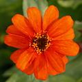 Orange Gerber by Paul Gavin