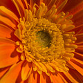 Orange Gerbera Daisy by Peterson Photography