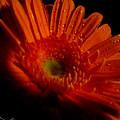 Orange Gerbera by September  Stone
