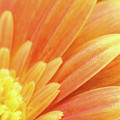 Orange Gerbera Petals by Wim Lanclus