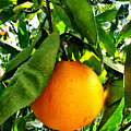 Orange Hanging From Tree Ready To Be Picked by Bryan Mullennix