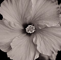 Orange Hibiscus Blossom In Sepia by Robert Kinser