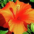 Orange Hibiscus by D Hackett