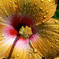 Orange Hibiscus II With Water Droplets by Rincon Road Photography By Ben Petersen