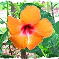 Orange Hibiscus by Judy  Waller