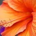 Orange Hybiscus by Gayle Johnson