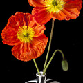 Orange Iceland Poppies by Garry Gay
