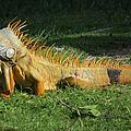 Orange Iguana by Frank Townsley