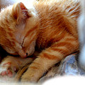 Orange Kitten Sleeping In Silk And Satin by Reva Steenbergen