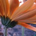 Orange Lady by Mary Halpin