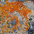 Orange Lichen by Eric Rosenwald
