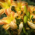 Orange Lilies by Timothy Hacker