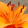 Orange Lily 1 by Amy Fose