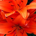 Orange Lily Closeup Digital Painting by Barbara Griffin